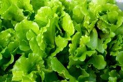 φρέσκο πράσινο λαχανικό Στοκ Εικόνες