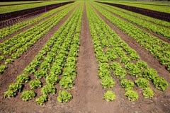 Φρέσκο πράσινο μαρούλι Στοκ Εικόνες