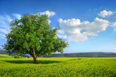 φρέσκο πράσινο μόνο δέντρο Στοκ Εικόνα