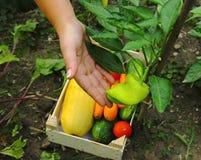 Φρέσκο πράσινο πιπέρι κήπων Στοκ Εικόνα