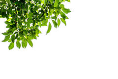 Φρέσκο πράσινο πλαίσιο φύλλων στο άσπρο υπόβαθρο Στοκ φωτογραφία με δικαίωμα ελεύθερης χρήσης