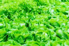 Φρέσκο πράσινο υπόβαθρο μαρουλιού Στοκ Εικόνα