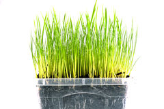 Φρέσκο πράσινο υπόβαθρο χλόης Στοκ Εικόνες