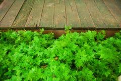 Φρέσκο πράσινο φυτό χλόης και φύλλων πέρα από το ξύλινο υπόβαθρο φρακτών Στοκ φωτογραφία με δικαίωμα ελεύθερης χρήσης
