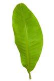 φρέσκο πράσινο φύλλο μπανα στοκ φωτογραφία
