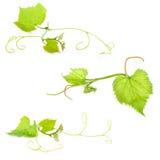 Φρέσκο πράσινο φύλλο σταφυλιών Στοκ Φωτογραφία
