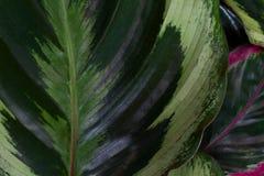 Φρέσκο πράσινο φύλλο Στοκ εικόνες με δικαίωμα ελεύθερης χρήσης