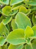 Φρέσκο πράσινο χορτάρι κινηματογραφήσεων σε πρώτο πλάνο αποκαλούμενο ινδικό μποράγκο (άμβωνας Plectranthus Στοκ Φωτογραφία