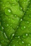 φρέσκο πράσινο ύδωρ φύλλων σταγονίδιων Στοκ Φωτογραφία