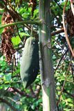 Φρέσκο πράσινο papaya φύσης στο δέντρο με τα φρούτα στο τοπίο φύσης στοκ φωτογραφία