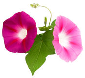 Φρέσκο ρόδινο λουλούδι δόξας πρωινού, χειρισμός φωτογραφιών Στοκ Εικόνα
