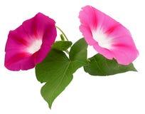 Φρέσκο ρόδινο λουλούδι δόξας πρωινού, χειρισμός φωτογραφιών Στοκ εικόνα με δικαίωμα ελεύθερης χρήσης