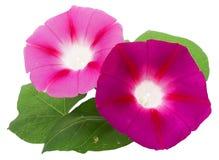 Φρέσκο ρόδινο λουλούδι δόξας πρωινού, χειρισμός φωτογραφιών Στοκ φωτογραφίες με δικαίωμα ελεύθερης χρήσης
