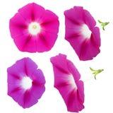 Φρέσκο ρόδινο λουλούδι δόξας πρωινού, χειρισμός φωτογραφιών Στοκ εικόνες με δικαίωμα ελεύθερης χρήσης