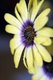 Φρέσκο στάλαγμα λουλουδιών ανοίξεων υγρό με τη φρεσκάδα στοκ εικόνα με δικαίωμα ελεύθερης χρήσης