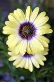 Φρέσκο στάλαγμα λουλουδιών ανοίξεων υγρό με τη φρεσκάδα στοκ εικόνες