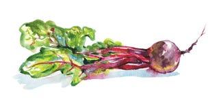 Φρέσκο τεύτλο Watercolor ελεύθερη απεικόνιση δικαιώματος