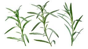 Φρέσκο τραχούρι (Artemisia Dracunculus) Στοκ Φωτογραφία