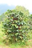 Φρέσκο φασόλι καφέ στο δέντρο Στοκ Εικόνες