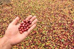Φρέσκο φασόλι καφέ υπό εξέταση στον κόκκινο καφέ μούρων Στοκ Εικόνες