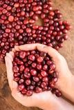 Φρέσκο φασόλι καφέ υπό εξέταση στον κόκκινο καφέ μούρων Στοκ Φωτογραφία