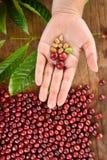 Φρέσκο φασόλι καφέ υπό εξέταση στον κόκκινο καφέ μούρων Στοκ φωτογραφία με δικαίωμα ελεύθερης χρήσης