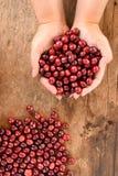 Φρέσκο φασόλι καφέ υπό εξέταση στον κόκκινο καφέ μούρων Στοκ εικόνα με δικαίωμα ελεύθερης χρήσης