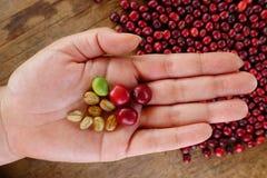 Φρέσκο φασόλι καφέ υπό εξέταση στον κόκκινο καφέ μούρων Στοκ φωτογραφίες με δικαίωμα ελεύθερης χρήσης