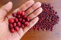 Φρέσκο φασόλι καφέ υπό εξέταση στον κόκκινο καφέ μούρων Στοκ εικόνες με δικαίωμα ελεύθερης χρήσης