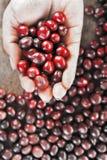 Φρέσκο φασόλι καφέ υπό εξέταση στον κόκκινο καφέ μούρων backgourng Στοκ Εικόνες