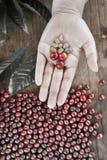 Φρέσκο φασόλι καφέ υπό εξέταση στον κόκκινο καφέ μούρων backgourng Στοκ φωτογραφία με δικαίωμα ελεύθερης χρήσης