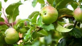 Φρέσκο φυσικό μήλο στις πτώσεις του νερού απόθεμα βίντεο