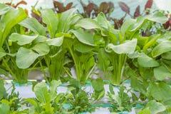 Φρέσκο φυτικό, υδροπονικό σύστημα Bok Choy. Στοκ Φωτογραφίες