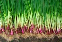 φρέσκο φυτό κρεμμυδιών Στοκ Εικόνα
