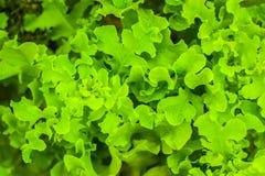 Φρέσκο φυτό μαρουλιού με τη σγουρή ανάπτυξη κινηματογραφήσεων σε πρώτο πλάνο φύλλων στο οργανικό αγρόκτημα Οργανική υγιής juicy τ Στοκ Φωτογραφία
