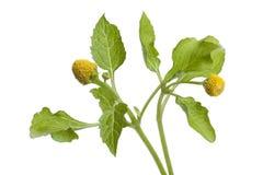 φρέσκο φυτό παραγράφου κάρ& στοκ εικόνες με δικαίωμα ελεύθερης χρήσης
