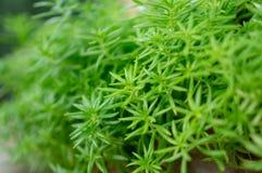 Φρέσκο φύλλωμα πρασινάδων των needle-like φύλλων Sedum φυτών ή stonecrop angelina της διάδοσης στο μουτζουρωμένο υπόβαθρο στοκ φωτογραφίες