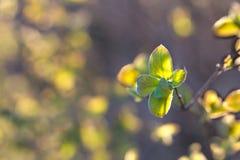 Φρέσκο φύλλο αύξησης άνοιξη στο ηλιοφώτιστο υπόβαθρο bokeh στοκ φωτογραφίες με δικαίωμα ελεύθερης χρήσης