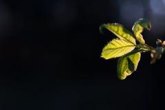 Φρέσκο φύλλο αύξησης άνοιξη στο μαύρο υπόβαθρο στοκ εικόνες