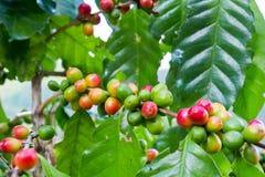 Φρέσκο arabica φασόλι καφέ στο δέντρο στο βουνό Στοκ Εικόνες