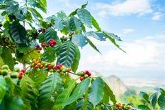 Φρέσκο arabica φασόλι καφέ στο δέντρο Στοκ Εικόνες