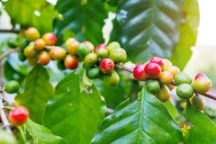 Φρέσκο arabica φασόλι καφέ στο δέντρο Στοκ Εικόνα