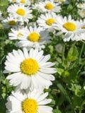 Φρέσκο chamomile λουλούδι για τη χρήση ιατρικής Στοκ φωτογραφίες με δικαίωμα ελεύθερης χρήσης
