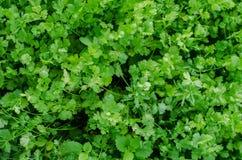Φρέσκο cilantro στοκ φωτογραφίες