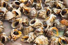 Φρέσκο conch Στοκ φωτογραφίες με δικαίωμα ελεύθερης χρήσης