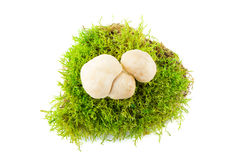 Φρέσκο gambosa Calcybe Εποχιακά μανιτάρια Στοκ εικόνα με δικαίωμα ελεύθερης χρήσης