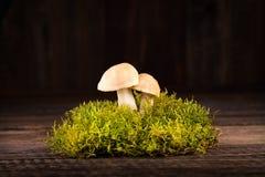 Φρέσκο gambosa Calocybe στο πράσινο βρύο Στοκ φωτογραφία με δικαίωμα ελεύθερης χρήσης