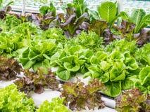 Φρέσκο hydrophonic λαχανικό Στοκ φωτογραφίες με δικαίωμα ελεύθερης χρήσης