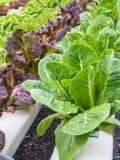 Φρέσκο hydrophonic λαχανικό Στοκ Φωτογραφία
