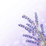 Φρέσκο lavender ανθίζει τα σύνορα Στοκ Εικόνες